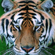 Gorgeous Sumatran tiger — Stock Photo #1818823