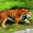 Gorgeous Sumatran tiger — Stock Photo #1818852