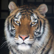 Gorgeous Sumatran tiger — Stock Photo #1819114