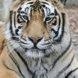 Gorgeous Sumatrtiger — Stock Photo #1819307