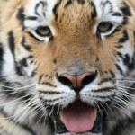 Gorgeous Sumatran tiger — Stock Photo #1819420