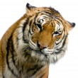 Gorgeous Sumatrtiger — Stock Photo #1819502
