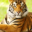 Gorgeous Sumatrtiger — Stock Photo #1819548