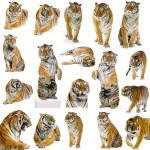 Gorgeous Sumatran tiger — Stock Photo #1819550