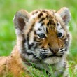 Stock Photo: Gorgeous Sumatran tiger