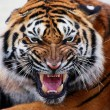Gorgeous Sumatran tiger — Stock Photo #1819739