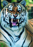 Gorgeous Sumatran tiger — Stock Photo