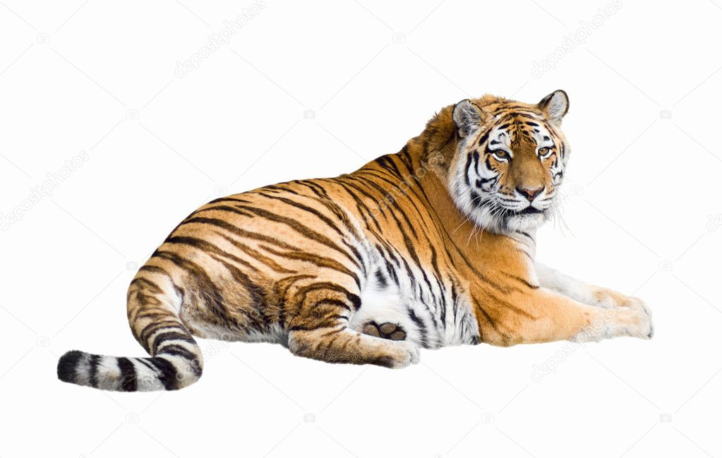Gorgeous Sumatran tiger — Stock Photo #1819637