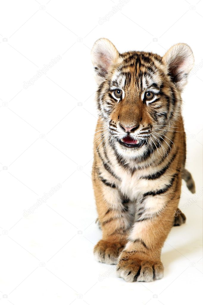  Gorgeous Sumatran tiger  Stock Photo #1819790
