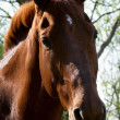 Sorrel horse — Stock Photo