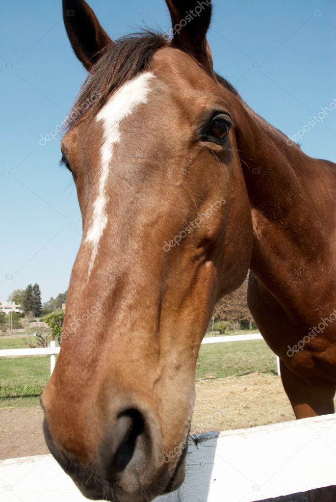 Sorrel horse — Stock Photo #2328034