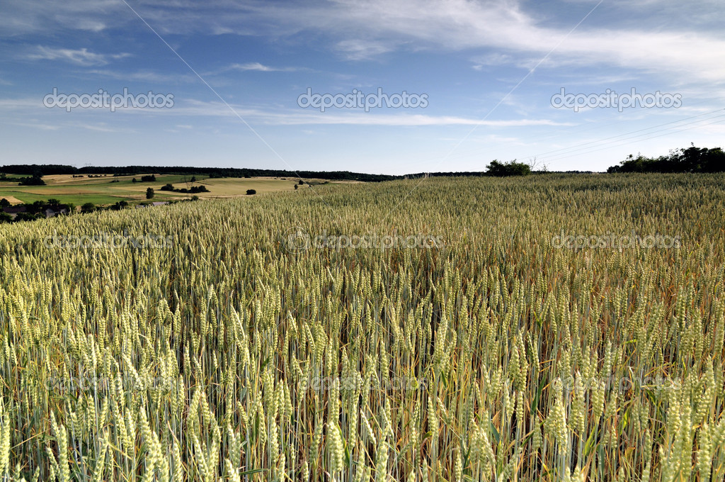 View across cornfield agricultural landscape  Stock Photo #1757499