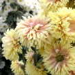 Royalty-Free Stock Photo: Blossoming chrysanthemum