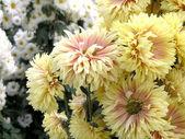 満開の菊 — ストック写真