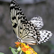 Butterfly (Idea leuconoe) — Stock Photo