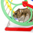 Hamster in wheel — Stock Photo