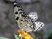 Butterfly (Idea leuconoe) — Stock Photo