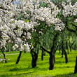 Flowering cherries trees, garden - Stock Photo