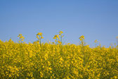 Blossoming rape, canola — Stock Photo