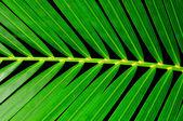 Hoja palmera — Foto de Stock