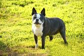 Dog at green grass — Stock Photo