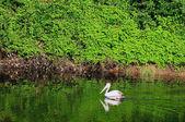 Pelikan — Stok fotoğraf
