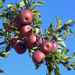 An apple tree — Stock Photo