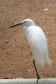 Egret — Stock Photo