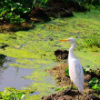 Egret — Stock Photo #2202412