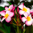 Frangipani Flower -  