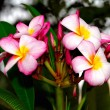 Frangipani Flower — Stock Photo #2202495