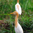 Stock Photo: Egrets