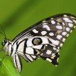 Stock Photo: Lime Butterfly