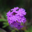 Moss Verbena — Stock Photo