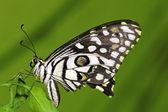 Mariposa cal — Foto de Stock