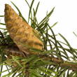 Isolated pine branch with cone — Stock Photo