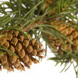 Isolated pine branch with cone — Stock Photo #1744934