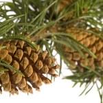 ramo di pino isolato con cono — Foto Stock