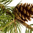 Isolated pine branch with cone — Stock Photo #1745009
