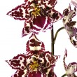 Stock Photo: Oriental orchid