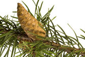 Isolated pine branch with cone — Zdjęcie stockowe
