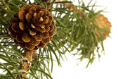 Isolated pine branch with cone — 图库照片