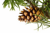 Isolated pine branch with cone — ストック写真