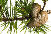 Isolated pine branch with cone — Stok fotoğraf