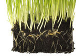 Baby plant with root system — Stock Photo