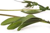 Ivy. maracuja. passiflora — Stock Photo