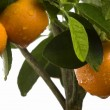 Calamondin tree with fruit and leaves — Stock Photo