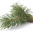 Stock Photo: Coniferous tree and cone