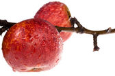 Isolated paradise. red apple on the branch — Stock Photo