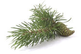Coniferous tree and cone — Stock Photo
